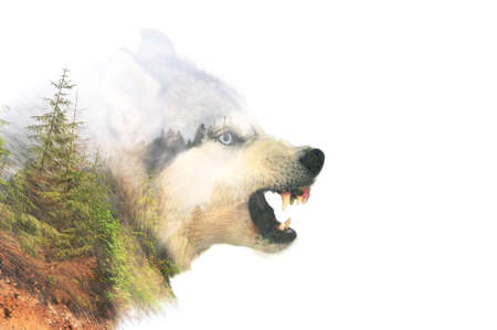 attacks: Angry siberian husky dog winter portrait. Double exposure Stock Photo