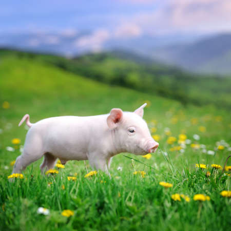 pig tails: Young pig on a spring green grass in meadow
