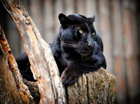 Zwarte panter Stockfoto