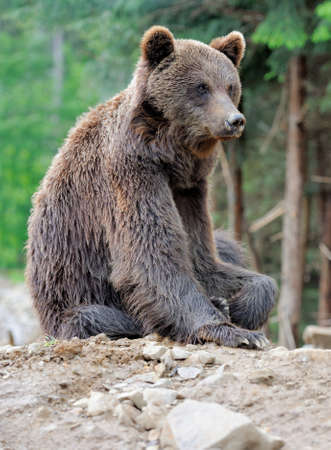 wet bear: Brown bear in forest after rain Stock Photo