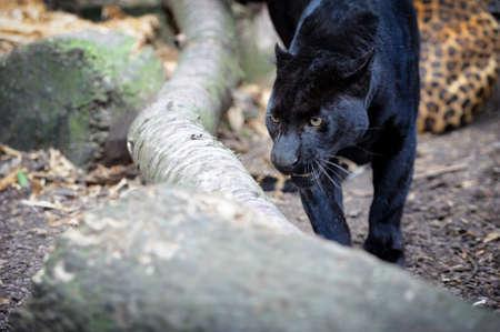 black leopard: Portrait of Black leopard on fresh air