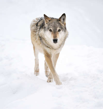 wolf head: Beautiful wild gray wolf in winter