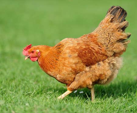 free range: Brown open range chicken in grass covered fiel