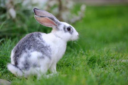 animal vein: Baby rabbit in grass. Summer day