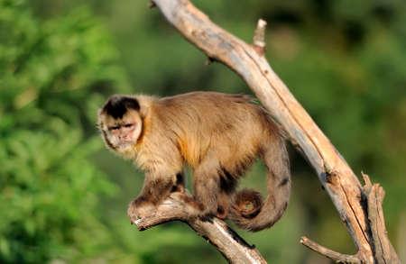 tenacious: Capuchin monkey