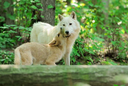 observant: White wolf in forest