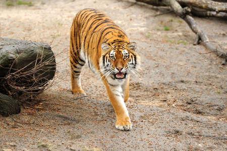 tigresa: Tigre Foto de archivo