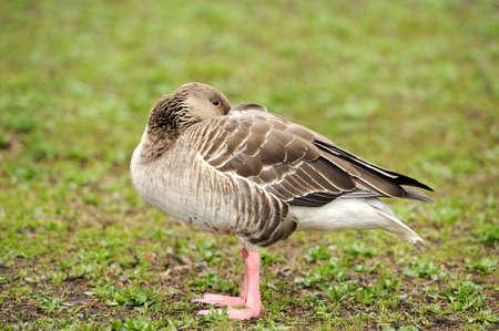 vigilant: Grey Geese Stock Photo