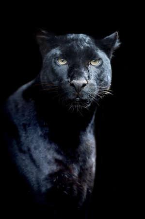 noir: Black léopard
