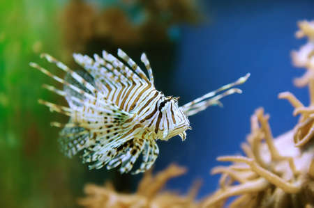 lionfish: A lionfish swiming over seagrass Stock Photo