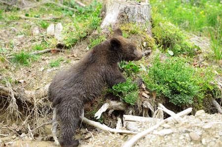 ourson: Brown ourson dans une for�t