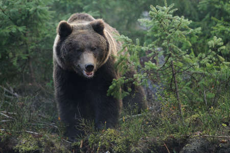 grizzly: Bear in forest
