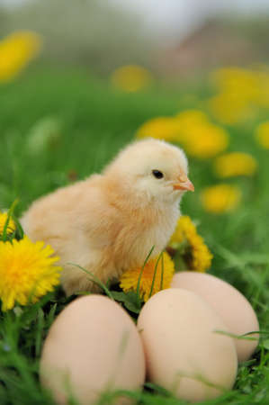 chick: Little chicken and egg on the grass Stock Photo