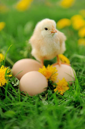 baby chick: Little chicken and egg on the grass Stock Photo