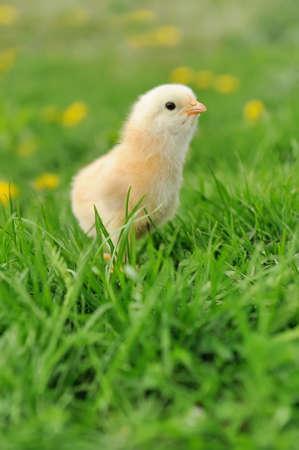 Little chicken on the grass photo