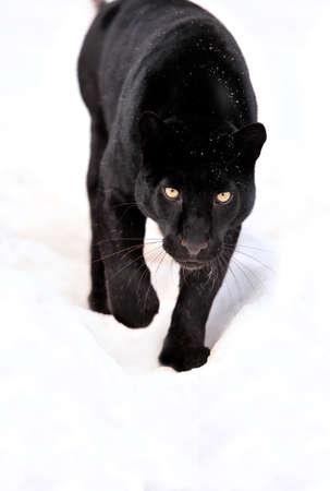 雪の上のクローズ アップの黒ヒョウ 写真素材