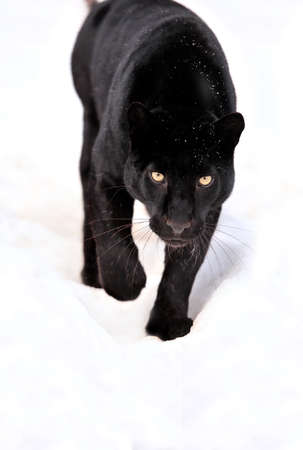 Close-up zwarte luipaard op sneeuw Stockfoto