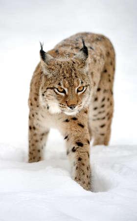 Beautiful wild lynx in winter photo