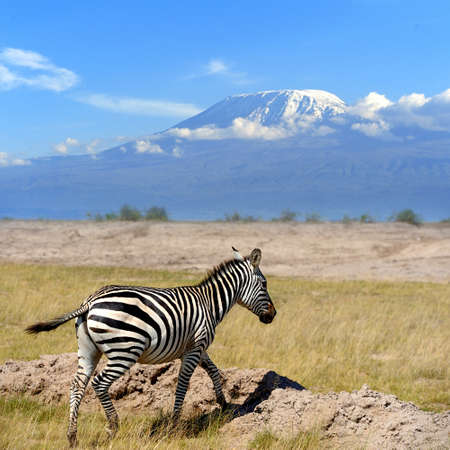 kilimanjaro: Zebra on the background of Mount Kilimanjaro in the national reserve Stock Photo