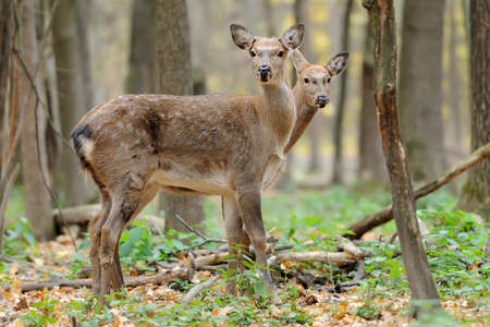 virginianus: Beautiful young red deer in forest