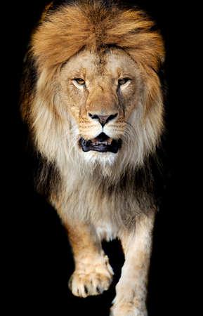 Lion portrait on black background photo
