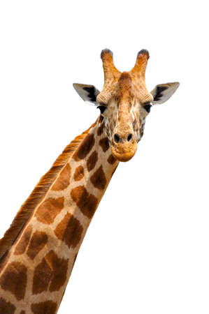 Close up shot of giraffe head isolated on white background
