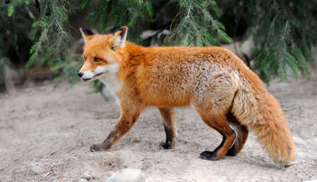 Wild fox in nature