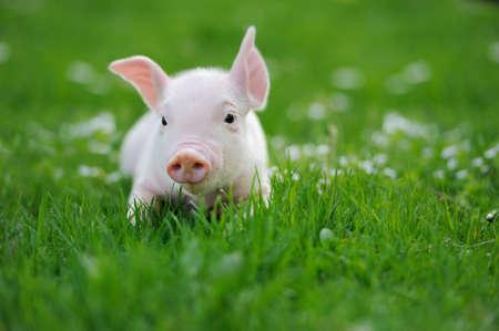 Junge Schweine auf einem grünen Gras Frühjahr Standard-Bild - 37849435