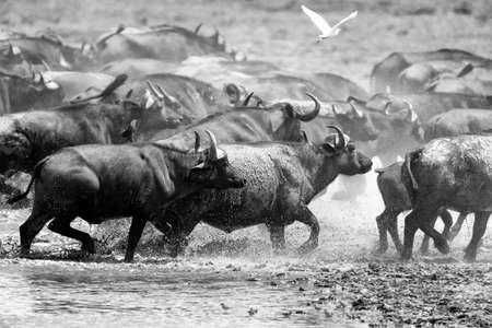 herbivore natural: Wild African buffalo bull. Africa, Kenya National Park