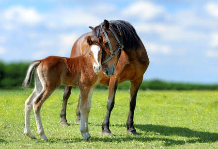 horse jumping: Arab mare and foal in spring meadow