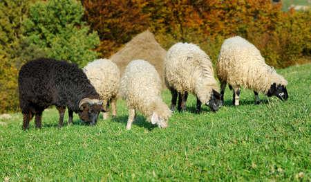Flock sheep on a autumn field photo