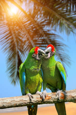 severe: Parrot (Severe Macaw) on the white sand beach white blue sky