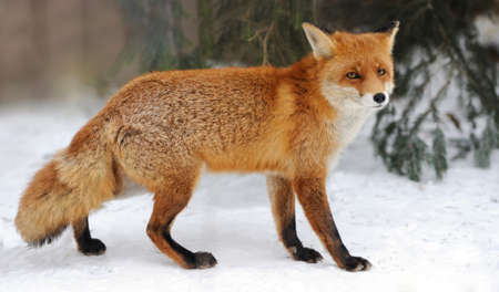 Red Fox (Vulpes vulpes) in winter time Stock Photo