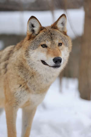 winter time: Grey Wolf (Canis lupus) in winter time