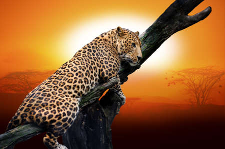 Leopard sitting on a branch photo