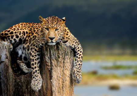Leopard sitting on a tree on nature background Banque d'images