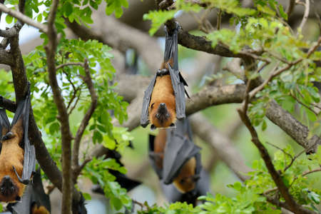 pteropus: Black flying-foxes (Pteropus alecto) hanging in a tree Stock Photo