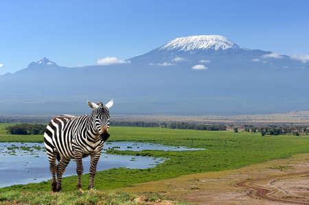 국립 공원 킬리만자로 산 배경에 얼룩말. 아프리카, 케냐 스톡 콘텐츠