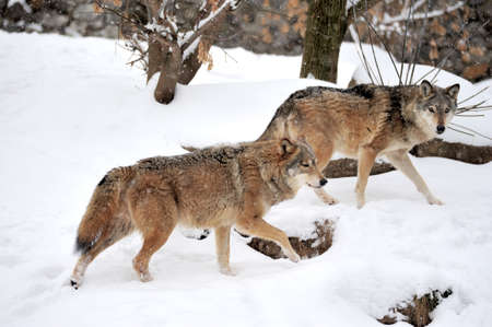 canis: Gray wolf (Canis lupus) in winter Stock Photo