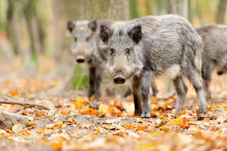 hunted: Male wild boar in winter, in the forest Stock Photo