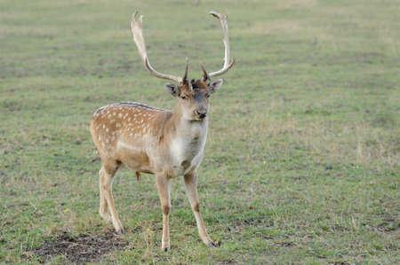 rutting: Stag Fallow Deer walking, watching in meadow