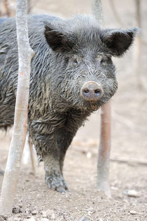omnivores: Wild boar in forest Stock Photo