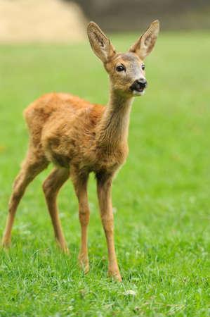 baby deer: Baby deer in grass