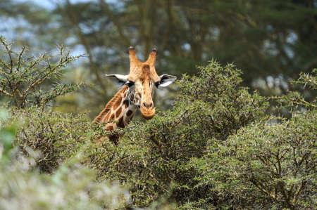 jirafa: Jirafa en el salvaje. África, Kenia Foto de archivo