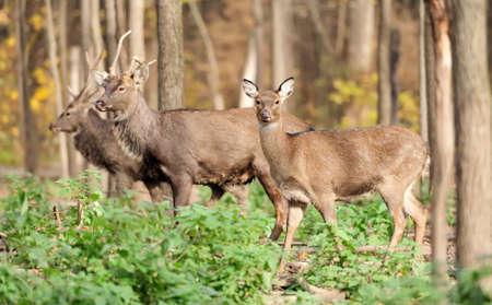 elaphus: Young doe deer in forest