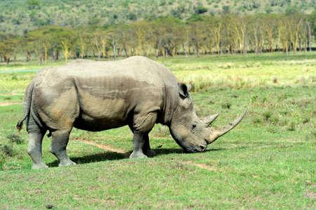 African White Rhino, Lake Nakuru. National Park, Kenya, Kenya photo