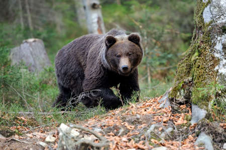 brown bear: Young brown bear in the wild forest