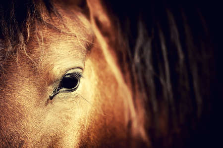 Close-up eye of Arabian bay horse on dark