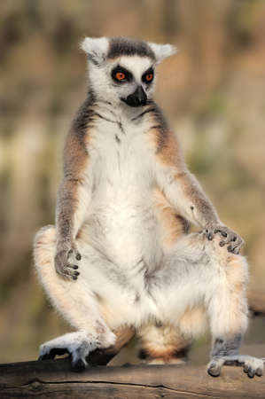 blackandwhite: Close-up young ring-tailed lemur Stock Photo