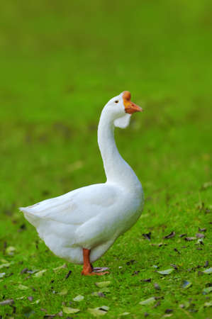 arched neck: A white goose on green grass